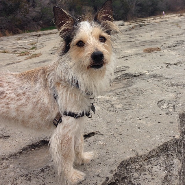 Where's all the water? #walkyourdogaustin #sparky #sparkydog #dogsofaustin #austintx #greenbelt #gopetfriendly #woof #scruffy #terrier–posted by thesparkydog on Instagram
