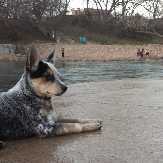 Today was a good day. #blueheeler #dailypuppy–posted by explodingsnowhorse on Instagram
