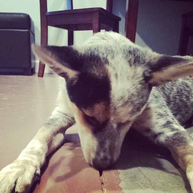 She likes cracks…. #blueheeler #dailypuppy–posted by explodingsnowhorse on Instagram