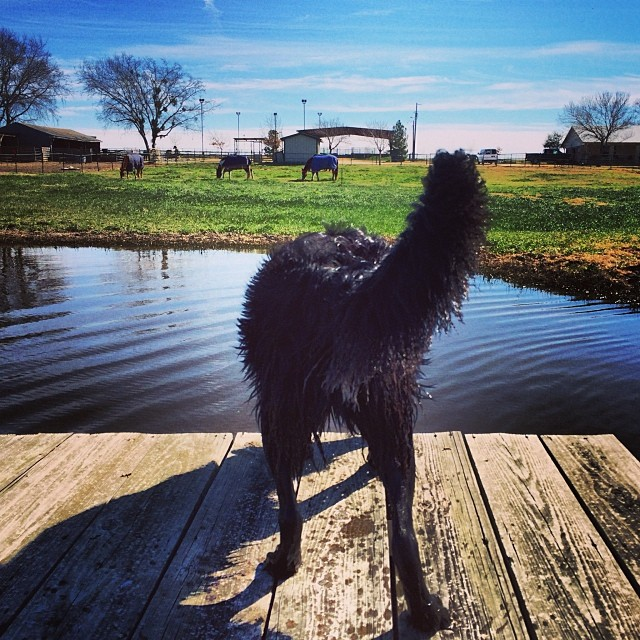 On the dock #thenakeddog #austin #hiking #boarding #training #atx #dogsofaustin #dogsofinstagram–posted by thenakeddog on Instagram