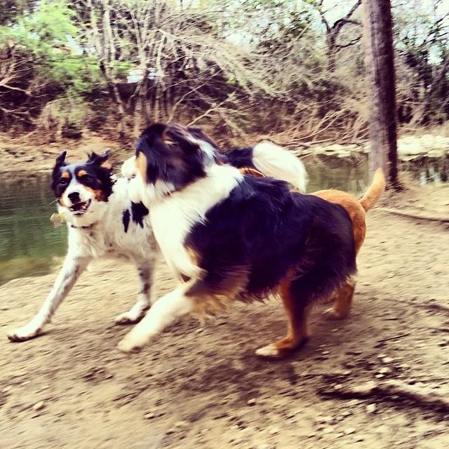 Aussie play #thenakeddog #austin #hiking #boarding #training #atx #dogsofaustin #dogsofinstagram #australianshepherd–posted by thenakeddog on Instagram