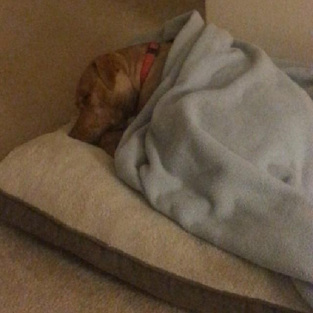 Snug as a bug in a rug. #dogsofinstagram #rescuedogs–posted by julesandjemma on Instagram