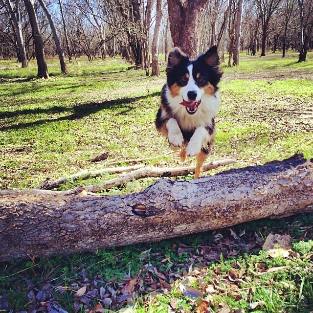 Cassie catching some air #thenakeddog #austin #hiking #boarding #training #atx #dogsofaustin #dogsofinstagram–posted by thenakeddog on Instagram