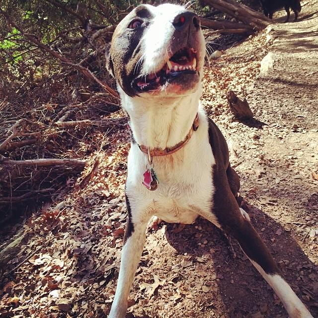 Z being Z #thenakeddog #austin #hiking #boarding #training #atx #dogsofaustin #dogsofinstagram #pitbull #thisisactuallyahappyface–posted by thenakeddog on Instagram