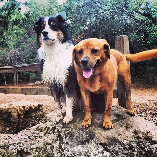 A rare serious shot of Cassie, the Aussie with the stellar smile. This pic  feels very 'behind the scenes' to me. #thenakeddog #austin #hiking #boarding #training #atx #dogsofaustin #dogsofinstagram #australianshepherd–posted by thenakeddog on Instagram