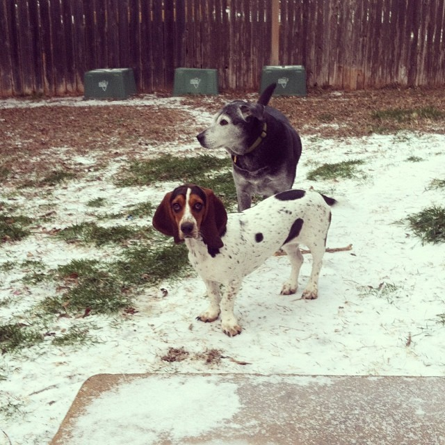 Waffles & Holly out in our backyard this morning. #austintx #dogsinaustin #icestorm #brrrrrrr #bassethound #lab–posted by karensinaustin on Instagram