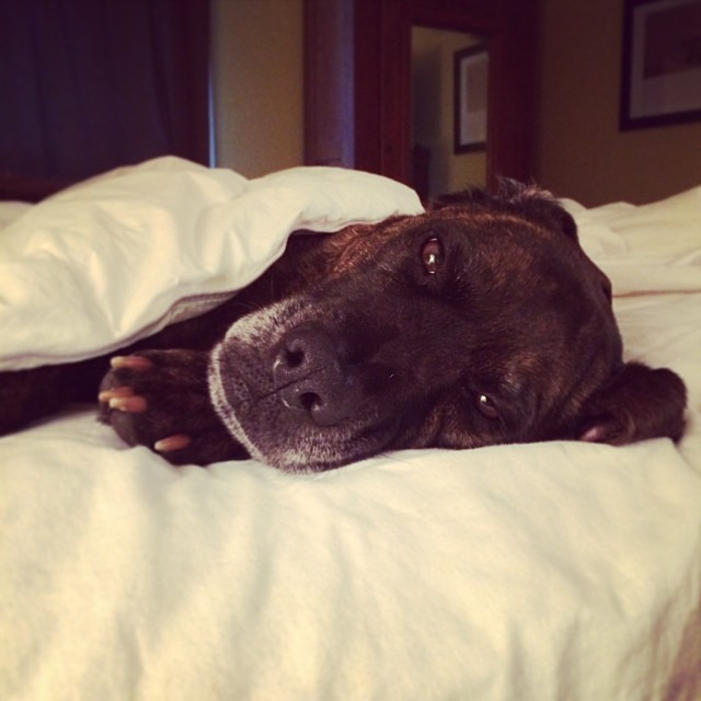 Someone put them self back to bed and got under the covers this morning. #adogslife #burrr–posted by austindirtydog on Instagram