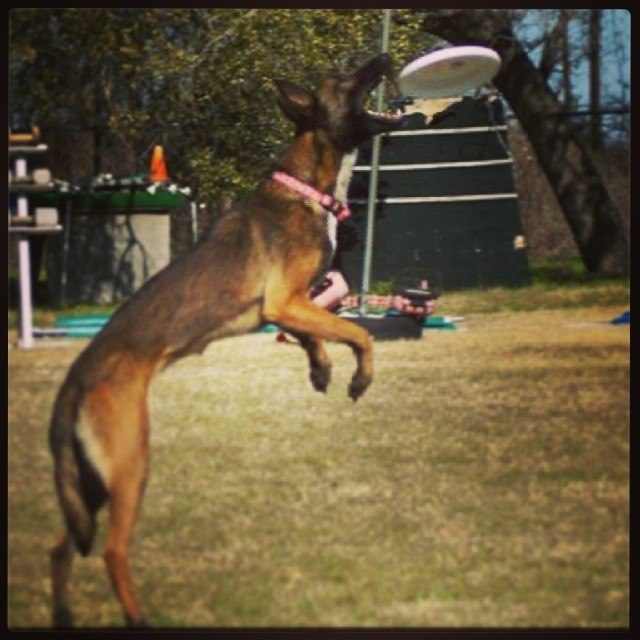 #whatbigteethyouhave #atxk9 #austin #frisbee #discdog–posted by atx_k9 on Instagram