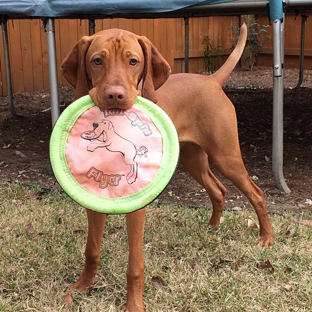 """Come and take it."" #thedailyargus #texasvizsla –posted by stuperb on Instagram"