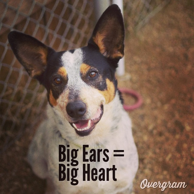 Could Pivo's #ears be more #epic? He's played well with other #pups and is a smart, friendly fellow! Meet him at #TLAC (1156 Cesar Chavez in #ATX) #Overgram #instagood #photooftheday #igers #adoptme #instadaily #instagramhub #cattledogs #heelers #hugeears #mutts #bigears #bestoftheday #bigears #acd #instagramers #austinanimalcenter –posted by hardluckhoundsaustin on Instagram