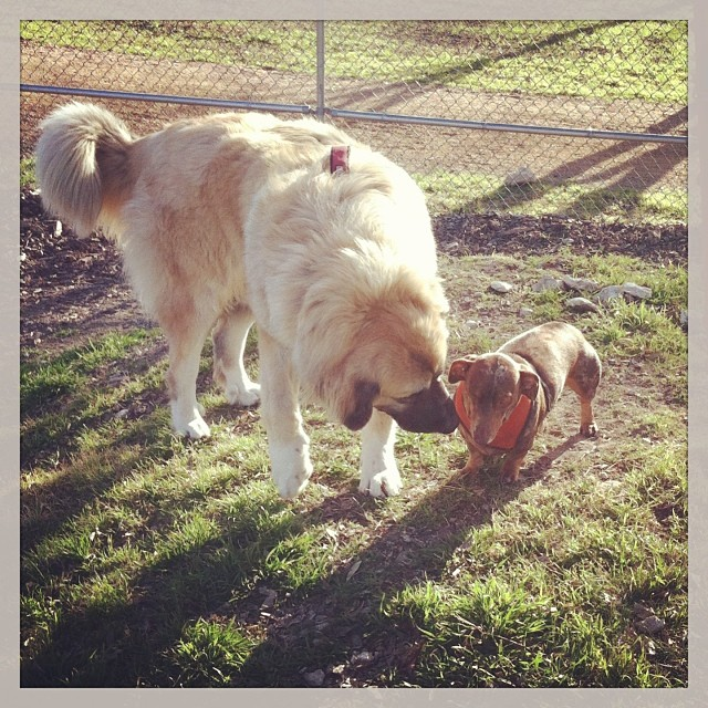 Reesie making friends with this big dog today. #dogsinaustin #dogsofinstagram #dachshund–posted by karensinaustin on Instagram