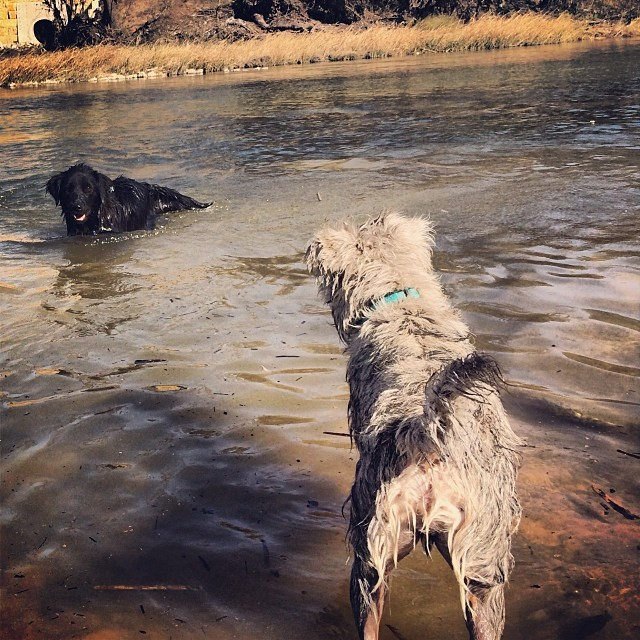Whenever there is an Audrey swimming, there is a Gus-Gus waiting for her on shore #thenakeddog #austin #hiking #boarding #training #atx #dogsofaustin #dogsofinstagram #doglove–posted by thenakeddog on Instagram