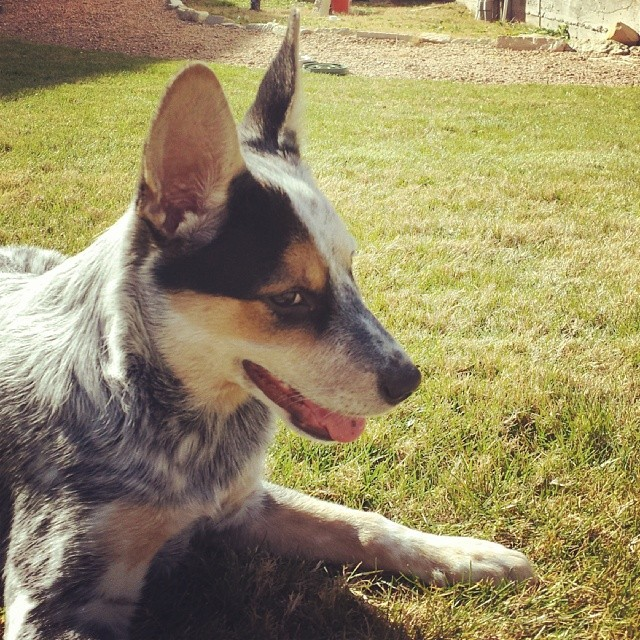 Fun outside.  #blueheeler #dailypuppy–posted by explodingsnowhorse on Instagram
