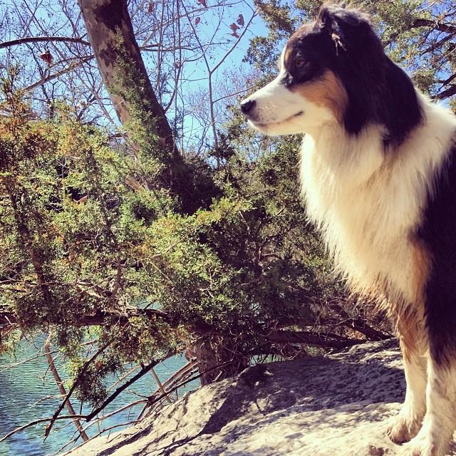 Cass the majestic #thenakeddog #austin #hiking #boarding #training #atx #dogsofaustin #dogsofinstagram–posted by thenakeddog on Instagram
