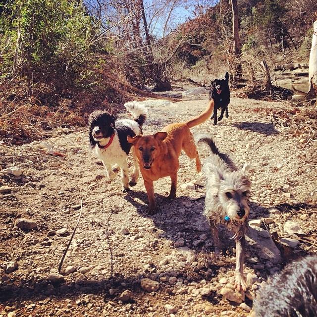 Lucy roar #thenakeddog #austin #hiking #boarding #training #atx #dogsofaustin #dogsofinstagram–posted by thenakeddog on Instagram