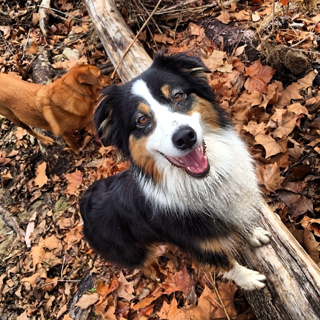 Tell me this dog isn't a model. She totally hams it up for the camera! #thenakeddog #austin #hiking #boarding #training #atx #dogsofaustin #dogsofinstagram #aussie #australianshepherd–posted by thenakeddog on Instagram
