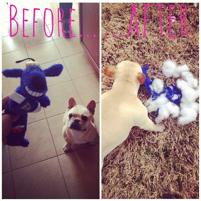 We accept all friends in our home, no matter their race, religion, or size. I bought Handsome a new Jewish you and this is what he did!!!! Do I need to have sensitivity training with him??? 😮 #cantwealljustgetalong #buhi #dogs #austin #frenchies #instafrenchie #frenchbullies–posted by handsomethepup on Instagram