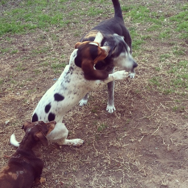 I bopped you in the head. #waffles #bassethound #holly #lab #reesie #dachshund –posted by karensinaustin on Instagram