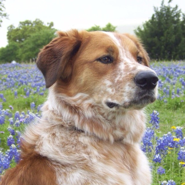Pet therapy dog Levi is a handsome Border Collie mix and one of the unofficial mascots of Austin Dog Alliance. He can often be seen greeting visitors at the New Hope Ranch.–posted by austindogalliance on Instagram
