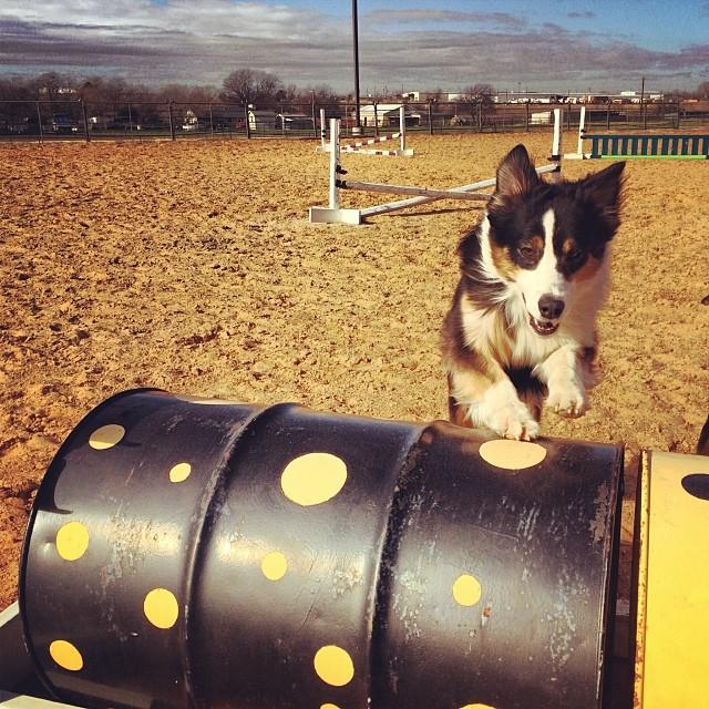 Cassie jumping the barrels #thenakeddog #austin #hiking #boarding #training #atx #dogsofaustin #dogsofinstagram–posted by thenakeddog on Instagram