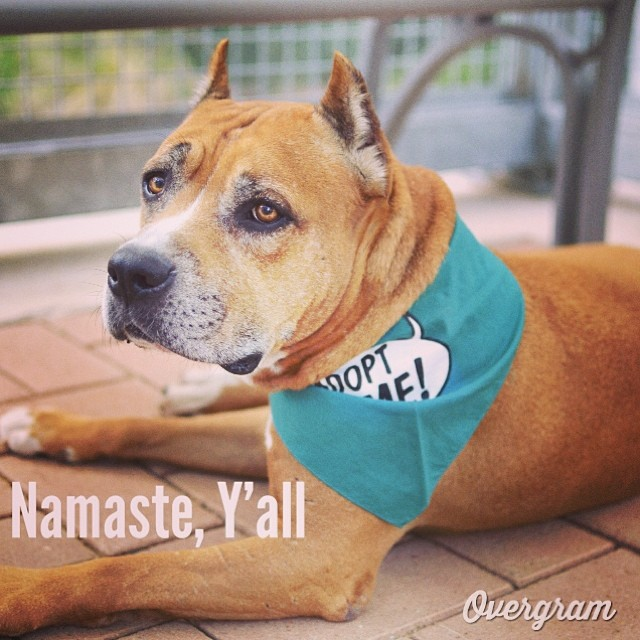 Join us TOMORROW at 10:30 am, #CastleHill Fitness, for #downwarddog for #seniordogs - All proceeds of this $20 #yoga class go to @classiccanines, saving the lives of #GoldenOldies like Dino Dan 🙅🙇🙏 #Atxfitness #atxyoga #photooftheday #igers #picoftheday #instadaily #instagramhub #staffies #dogs #mutts #iphoneonly #bestoftheday #igdaily #yoga #instagramers #shoutout #staffies–posted by hardluckhoundsaustin on Instagram