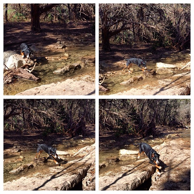 Rowdy overcoming his fear of water & crossing the creek #thenakeddog #austin #hiking #boarding #training #atx #dogsofaustin #dogsofinstagram–posted by thenakeddog on Instagram