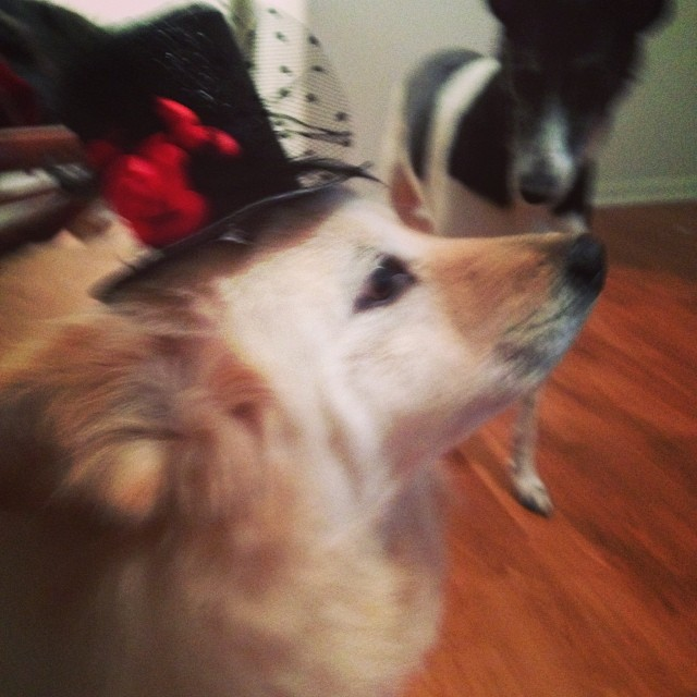 Honey is ready for New Years Eve! #tophatpup #readytogetmymilkboneon–posted by stephtoal on Instagram