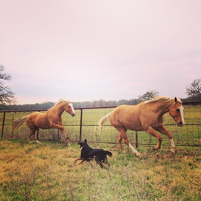 Ginny rounding up the ponies #thenakeddog #austin #hiking #boarding #training #atx #dogsofaustin #dogsofinstagram–posted by thenakeddog on Instagram