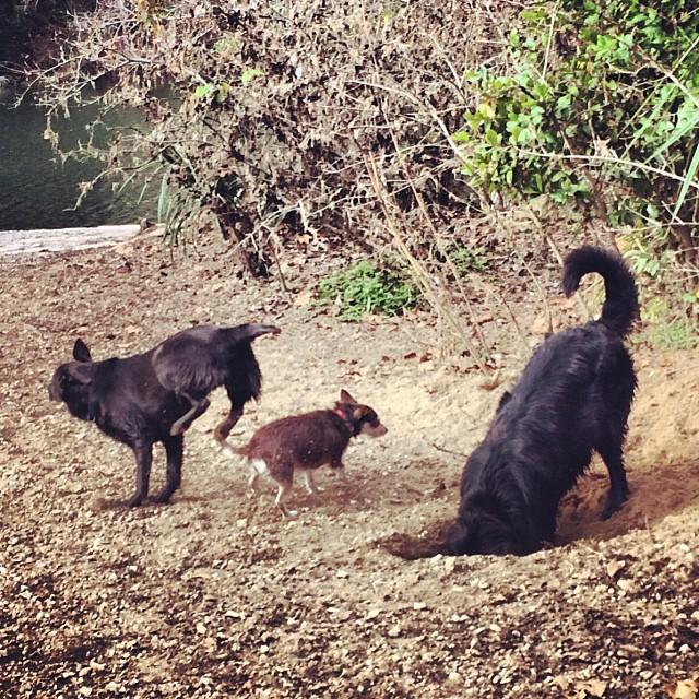 Three stooges #thenakeddog #austin #hiking #boarding #training #atx #dogsofaustin #dogsofinstagram–posted by thenakeddog on Instagram