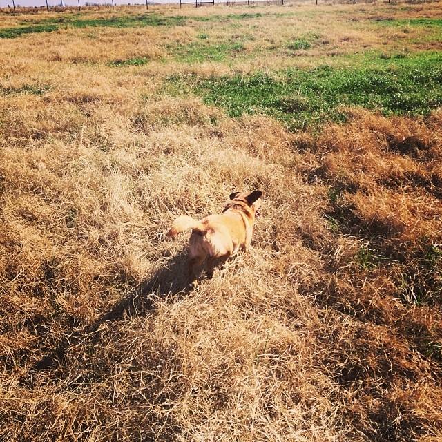 Lucy in the grass #thenakeddog #austin #hiking #boarding #training #atx #dogsofaustin #dogsofinstagram–posted by thenakeddog on Instagram