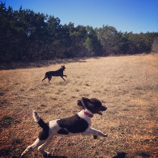 Minette making moves #thenakeddog #austin #hiking #boarding #training #atx #dogsofaustin #dogsofinstagram–posted by thenakeddog on Instagram