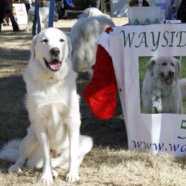 Wayside Great Pyrenees Rescue had some of their available dogs at the Bow Wow Express Holiday Festival–posted by austindogalliance on Instagram