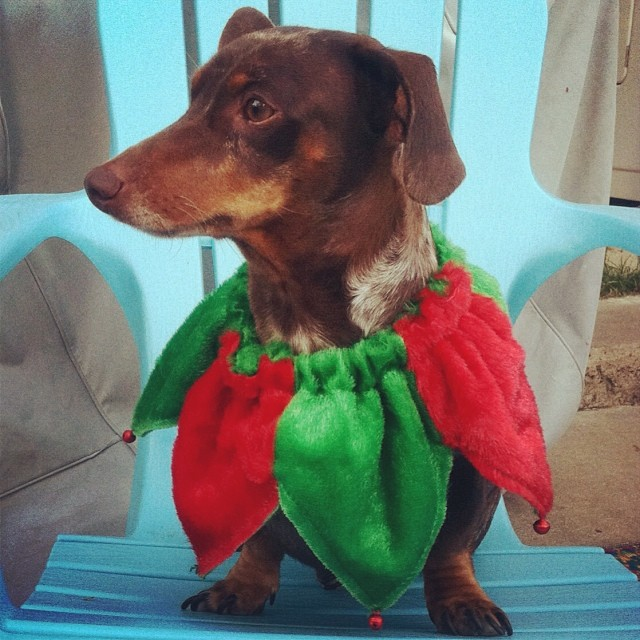 Reesie the Christmas elf #dachshund –posted by karensinaustin on Instagram
