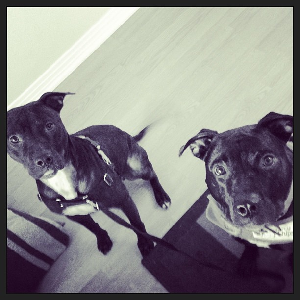 Felix spent the weekend with his Twin Friend, Barley, the longest-stay dog at @austinanimalcenter - Barley is a smart, affectionate boy who would love a #HomeForTheHolidays! Please email skylinepetcare@gmail.com to learn more about Barley! #dogs #pitties #twins #blackdogs #mutts #atxdogs #adoptme #staffies–posted by skylinepetcare on Instagram