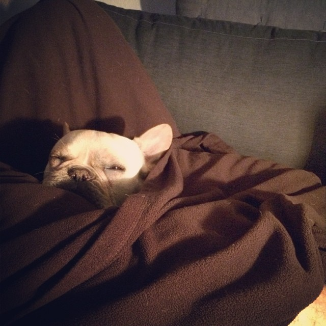 Snug as a 🐛 in a rug…or a 🐷 in a blanket. #buhi #bulldogs #frenchies #frenchbullies #instafrenchie #atxdogs #austin #texasfrenchies–posted by handsomethepup on Instagram