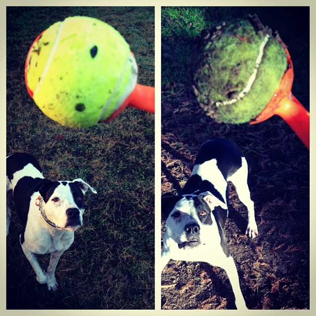Before and After. #dogs #dogstagram #fetch #chuckit –posted by saramaic on Instagram