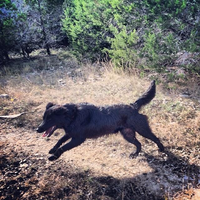 Audrey takes the leap #thenakeddog #austin #hiking #boarding #training #atx #dogsofaustin #dogsofinstagram–posted by thenakeddog on Instagram