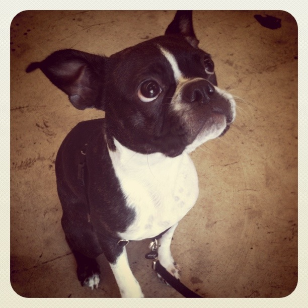 Gus, a rescued Boston Terrier, came calling at Guadalupe. LOVE!