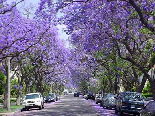 Jacaranda tree lined streets