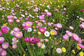 Wildflowers in Perth