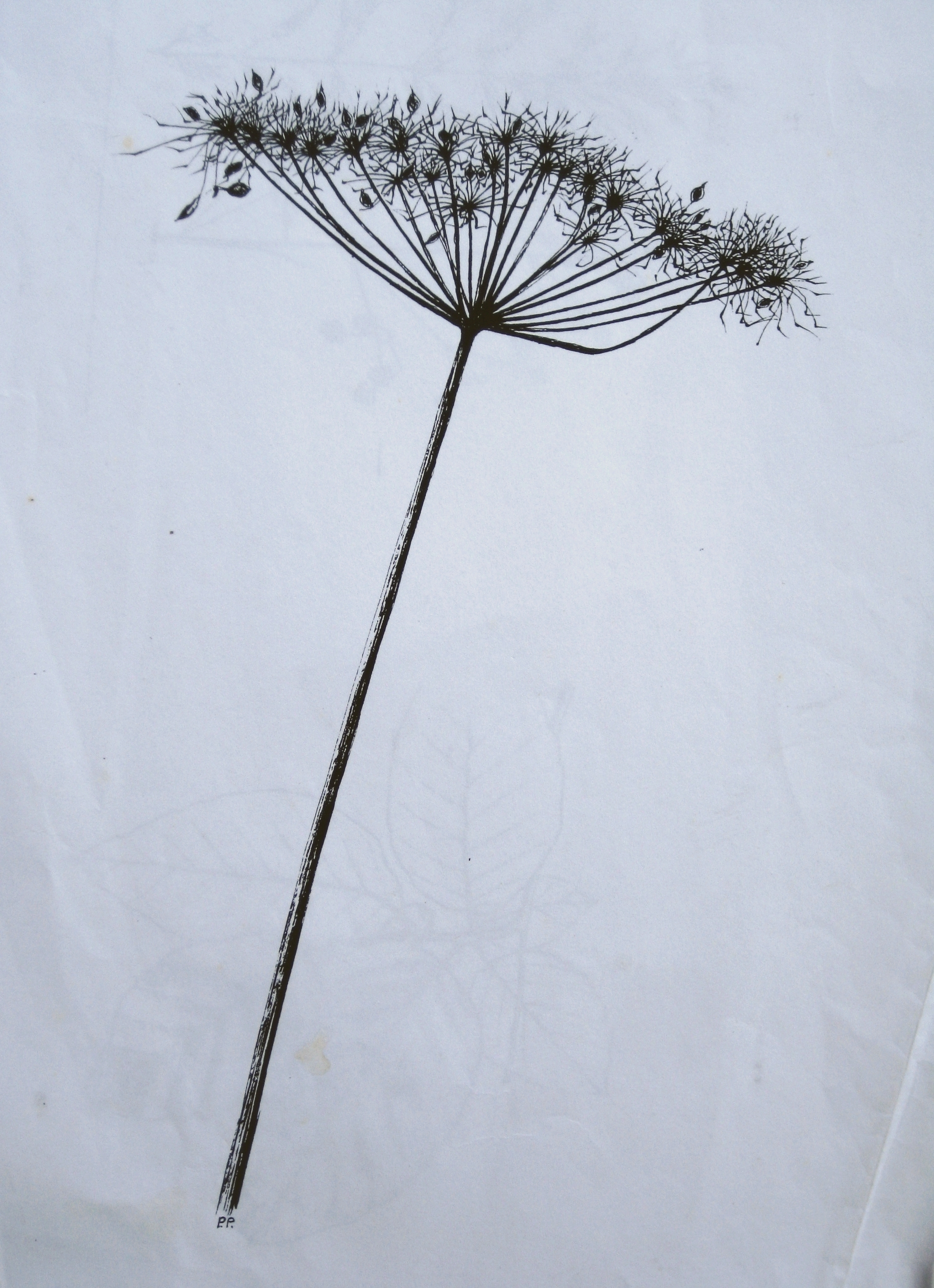 UMBELLIFER, WINTER
