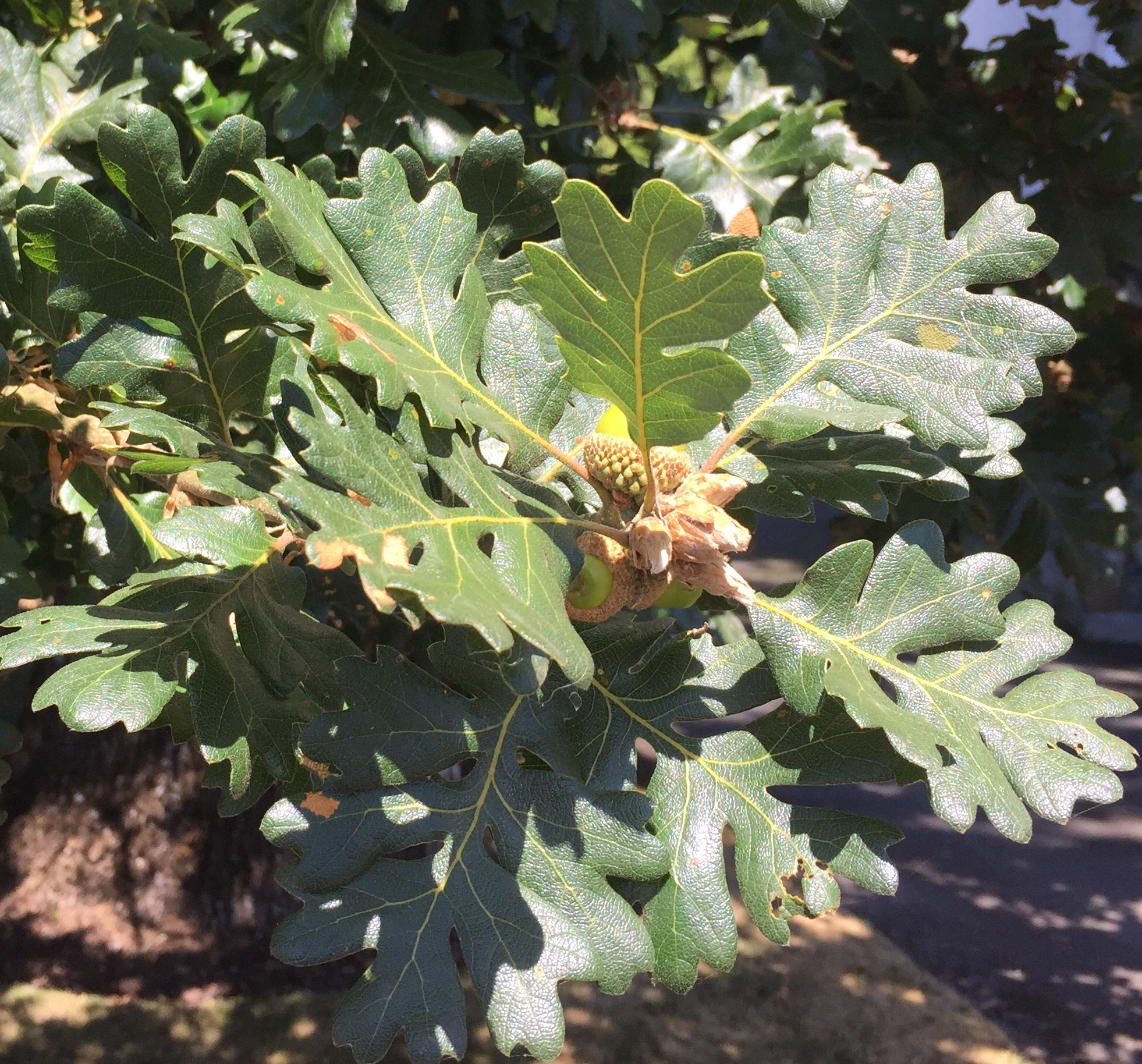 Garry oak leaves and acorns July 2016
