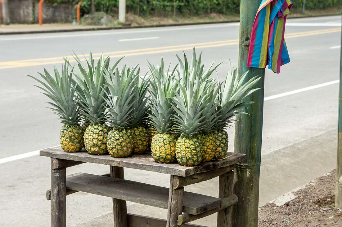 Freshly picked pineapple