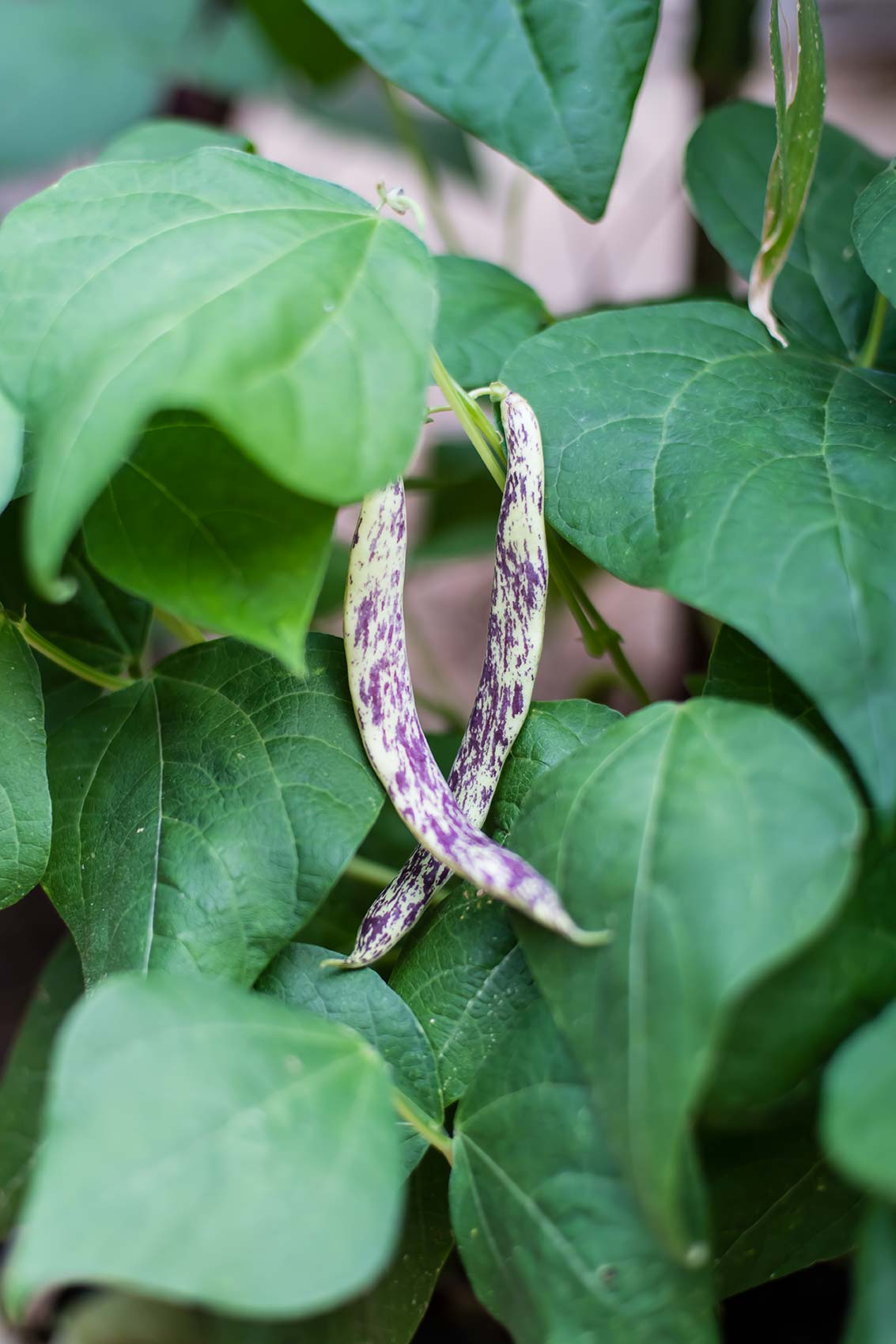 Dragon tongue beans growing on vine