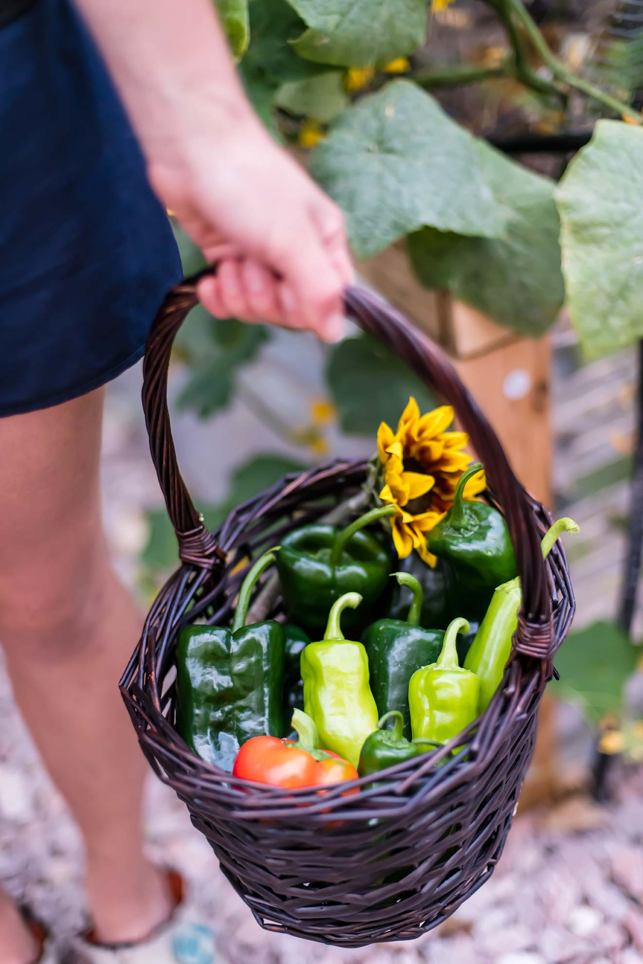 Pepper harvest in basket