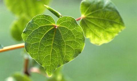 Kava plant