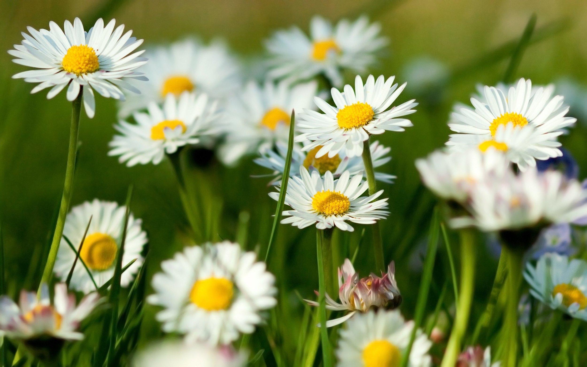 roman chamomile health benefits