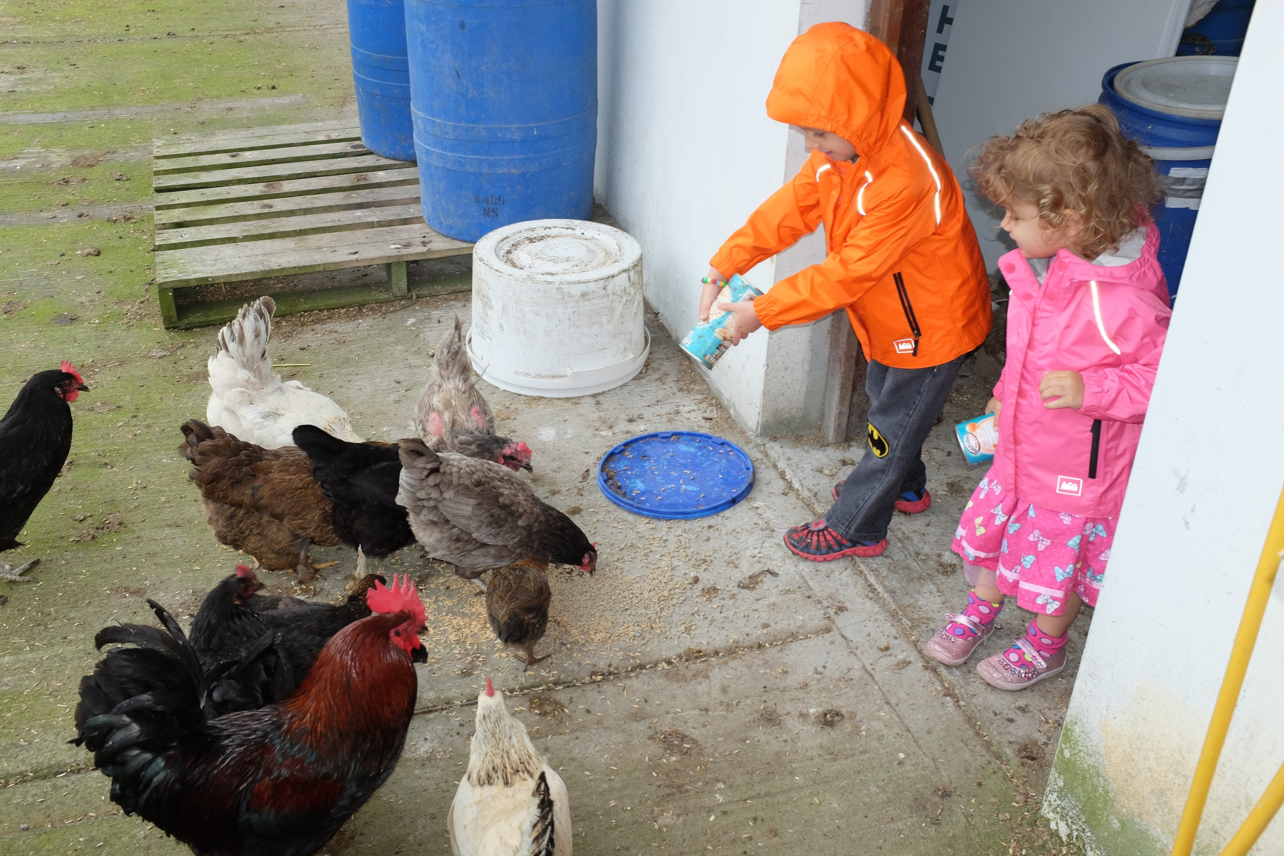 Little farmers at work feeding the chickens and roosters