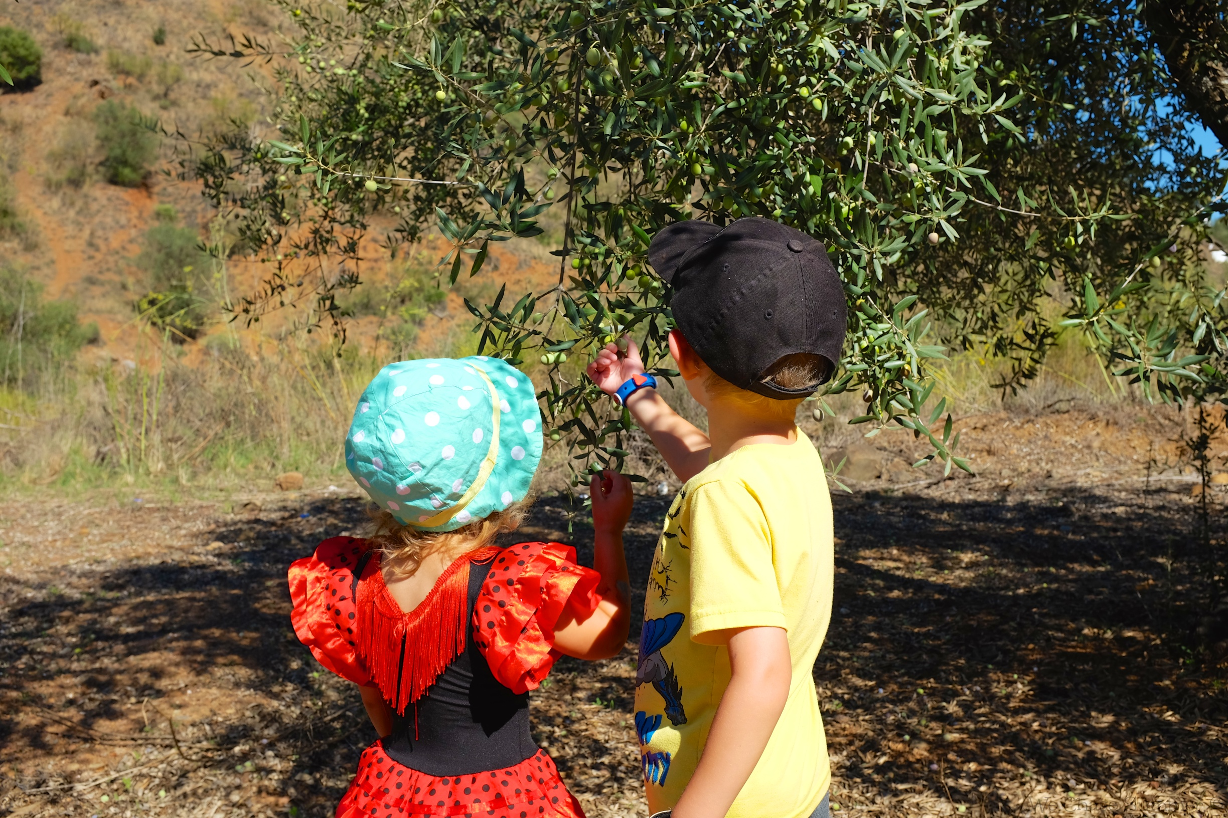 Olive pickers hard at work
