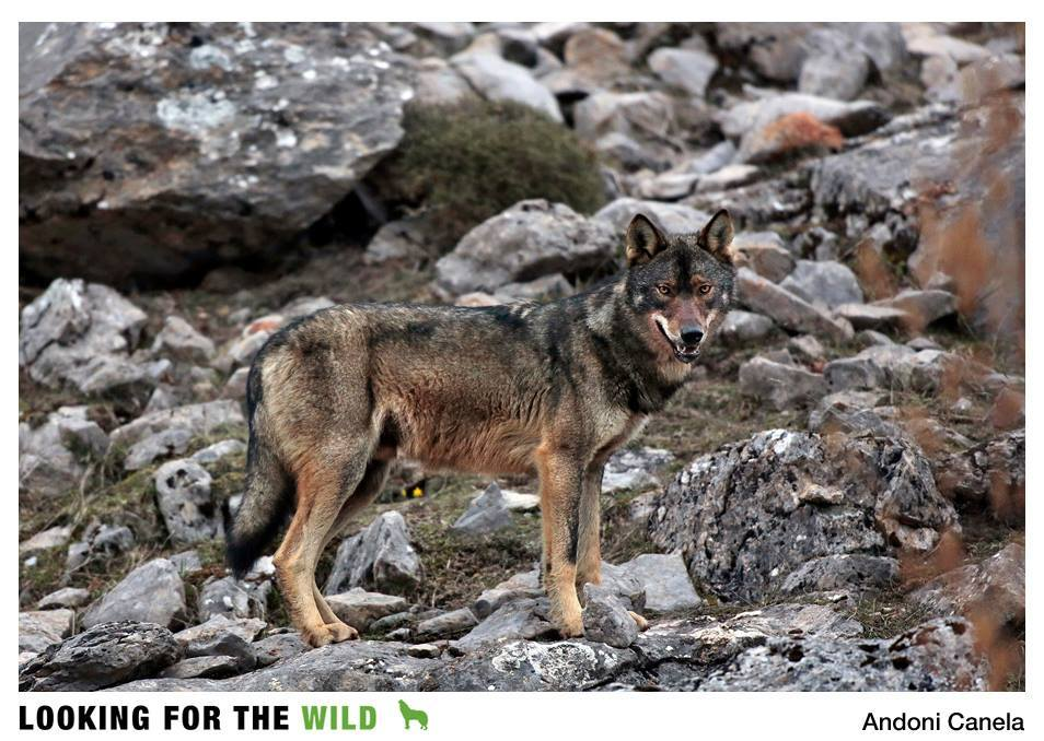Iberian wolf in the Riano Mountains - photo courtesy of Andoni Canela